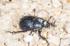 Dung beetle, Geotrupes stercorosus Scr. Stock Photography