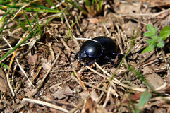 Dung beetle Stock Photos