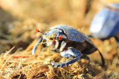 Dung Beetle - Got to love your job 2 Stock Photo