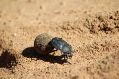 Dung Beetle - Got to love your job Stock Images