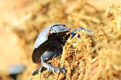 Dung Beetle - Got to love your job 3 Stock Photo