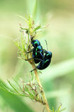 Dung beetle on grass Stock Images