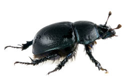 Dung beetle  isolated. One dung beetle isolated on white Stock Image