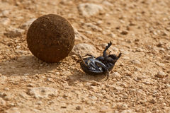 Dung beetle on its back Stock Photos