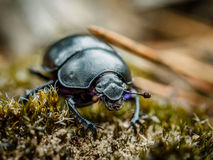 Dung Beetle macro Stock Photography