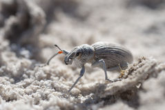 Dung Beetle, Mexico. Dung Beetle on Gypsum flat, Cuatro Cienegas, Coahuila, Mexico Royalty Free Stock Images