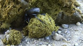 Dung beetle molding a dung ball. Dung beetle molding a dung ball from the dung of a buffalo stock footage