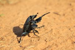 Dung Beetle - Proud worker of unspoken matter Royalty Free Stock Images