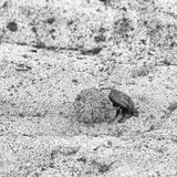 Dung beetle pushes his ball. In a steep climb. concept of tenacity and willpower Royalty Free Stock Photography
