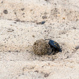 Dung beetle pushes his ball. In a steep climb. concept of tenacity and willpower Stock Images