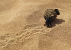 Dung Beetle. A Dung Beetle pushes its quarry to a safe location in the desert with his partner hitching a ride. He will then bury the dung and she will lay her stock photography