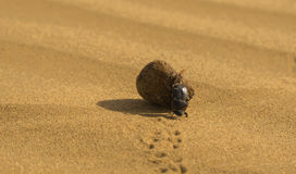 Dung Beetle. Pushing a dung ball in the Thar Desert in India Royalty Free Stock Images