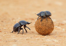 Dung Beetle rolling ball. Dung Beetles rolling a dung ball pictured in South Africa Stock Images