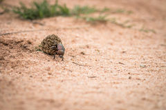 Dung beetle rolling a ball of dung. Dung beetle rolling a ball of dung in the Kruger National Park, South Africa Royalty Free Stock Photo