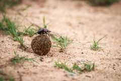 Dung beetle rolling a ball of dung. Dung beetle rolling a ball of dung in the Kruger National Park, South Africa Royalty Free Stock Photography