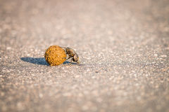 A Dung beetle rolling a ball of dung on the road. Royalty Free Stock Photos