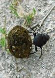Dung Beetle Rolling Dung en el agujero Foto de archivo libre de regalías