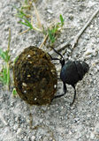 Dung Beetle Rolling Dung into Hole Royalty Free Stock Photo