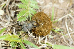Dung beetle. A dung beetle is rolling a pellet of dung Royalty Free Stock Photo