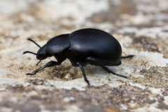 Dung beetle. Scarabaeidae Royalty Free Stock Images