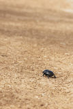 Dung beetle. Single dung beetle walking in the road Royalty Free Stock Image