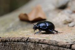 Dung Beetle On Stem fotos de stock