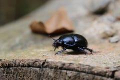 Dung Beetle On Stem Stock Photos