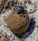 Dung Beetle Verde-acanalado Fotografía de archivo
