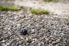Dung beetle walking across a path in a heather flied in Den Treek The Netherlands. Dung beetle walking across a path in heather flied in Den Treek The stock images