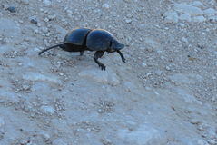 Dung Beetle. A dung beetle walking on the road in the Addo Elephant National Park Royalty Free Stock Photos