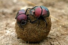 Dung beetles. Two dung beetles at work stock photography