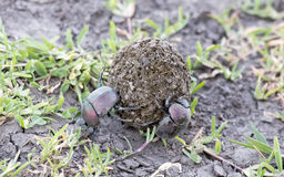 Dung beetles Royalty Free Stock Image