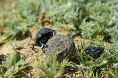 Dung beetles rolling a dung ball in Azerbaijan Stock Image