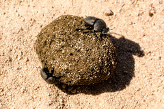 Dung beetles rolling their ball Stock Images
