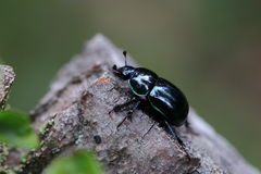 Dung beetles Royalty Free Stock Photography