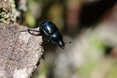 Dung beetles Royalty Free Stock Photo