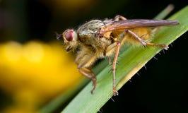Dung fly closeup   Stock Images