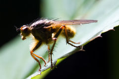 Dung fly side Stock Photos