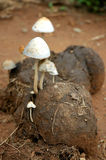 Dung mushroom Stock Images