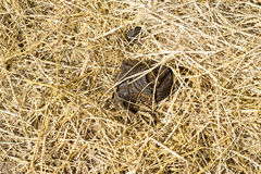 The dung on thatch Royalty Free Stock Photos