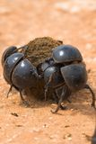 Dungbeetle Fight Royalty Free Stock Image
