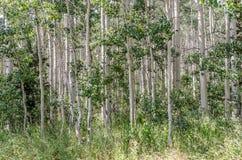 Dunge av att skälva aspen Fotografering för Bildbyråer