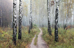 Dunge av björkträd i den tidiga hösten, nedgångpanorama Arkivfoto