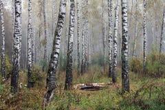 Dunge av björkträd i den tidiga hösten, nedgångpanorama Royaltyfria Bilder