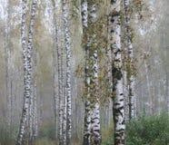 Dunge av björkträd i den tidiga hösten, nedgångpanorama Arkivfoton
