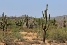 Dunge av Saguarokaktuns p? en varm morgon i Arizona royaltyfria foton