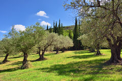 Dunge för olivträd, Grekland arkivbilder
