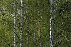 dungen för björklövverkgreen kan Royaltyfria Foton