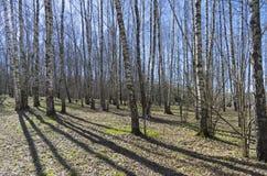 dungen för björklövverkgreen kan Solig dag i April Fotografering för Bildbyråer
