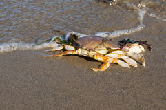 Dungeness crab on a beach. Dungeness crab at the edge of the surf on an ocean beach Stock Images